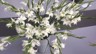 G. colvillii 'Albus' mini gladiolen