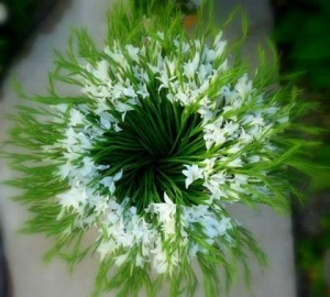 alba in rozet minigladiool nanus colvillii hermans