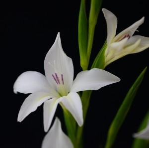 Gladiolus colvillei albus (10)
